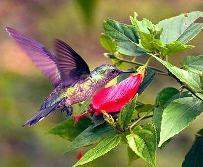 external image humming-bird.jpg